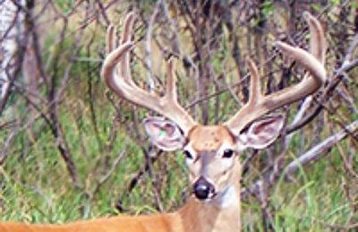 Photo of Whitetail Deer Buck with Velvet Horns