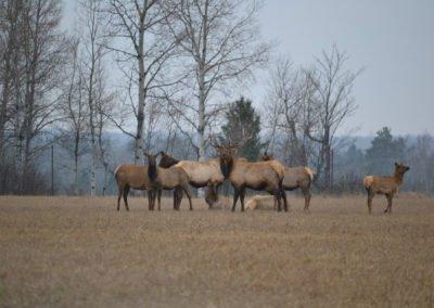 Elk-Herd-1