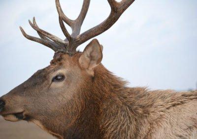 bull-elk-3